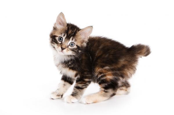 Korn Ja Cat: Korn Kurilian Bobtail Kitten Breed
