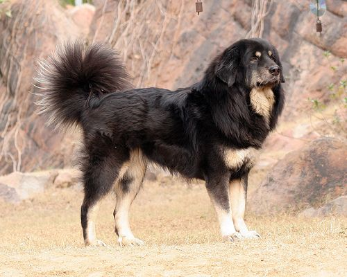 Kumaon Mastiff Dog: Kumaon Breed