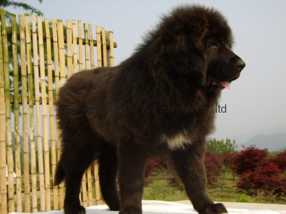 Kumaon Mastiff Puppies: Kumaon European Mastiff Breed