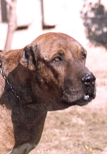 Kumaon Mastiff Dog: Kumaon Molosserdogs Breed