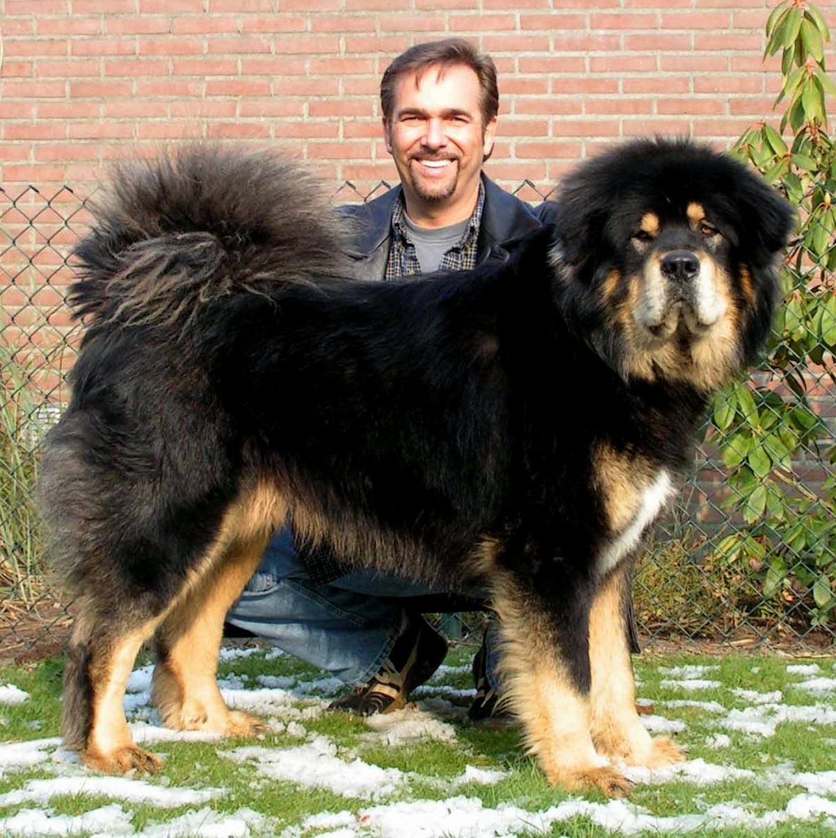 Kumaon Mastiff Dog: Kumaon S Tibetan Mastiff Pups Largest Dog Chennai Breed