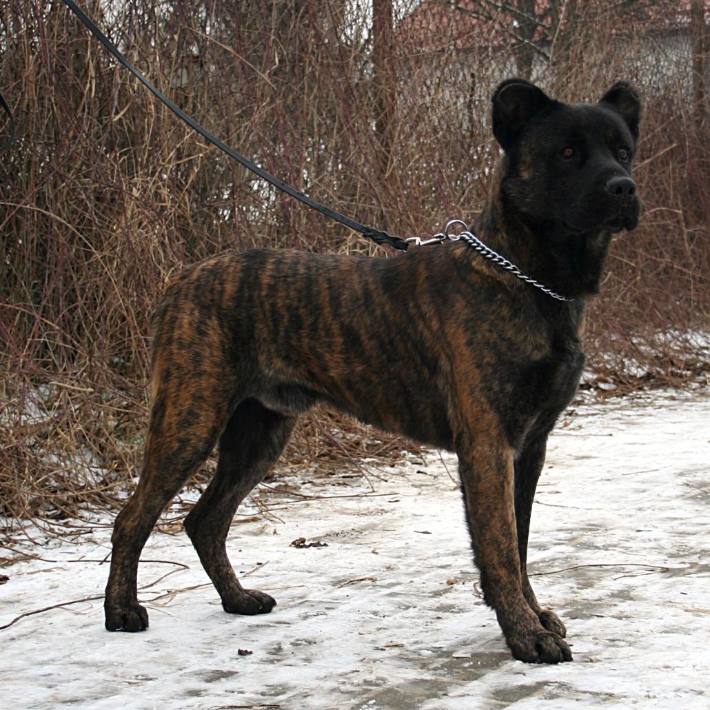 Kunming Wolfdog Dog: Kunming Cao Fila De Sao Miguel Breed