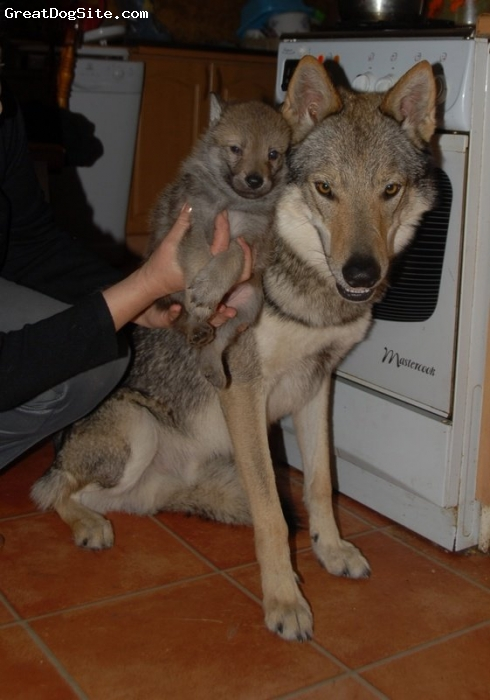 Kunming Wolfdog Puppies: Kunming Czechoslovakian Vlcak Puppies Breed