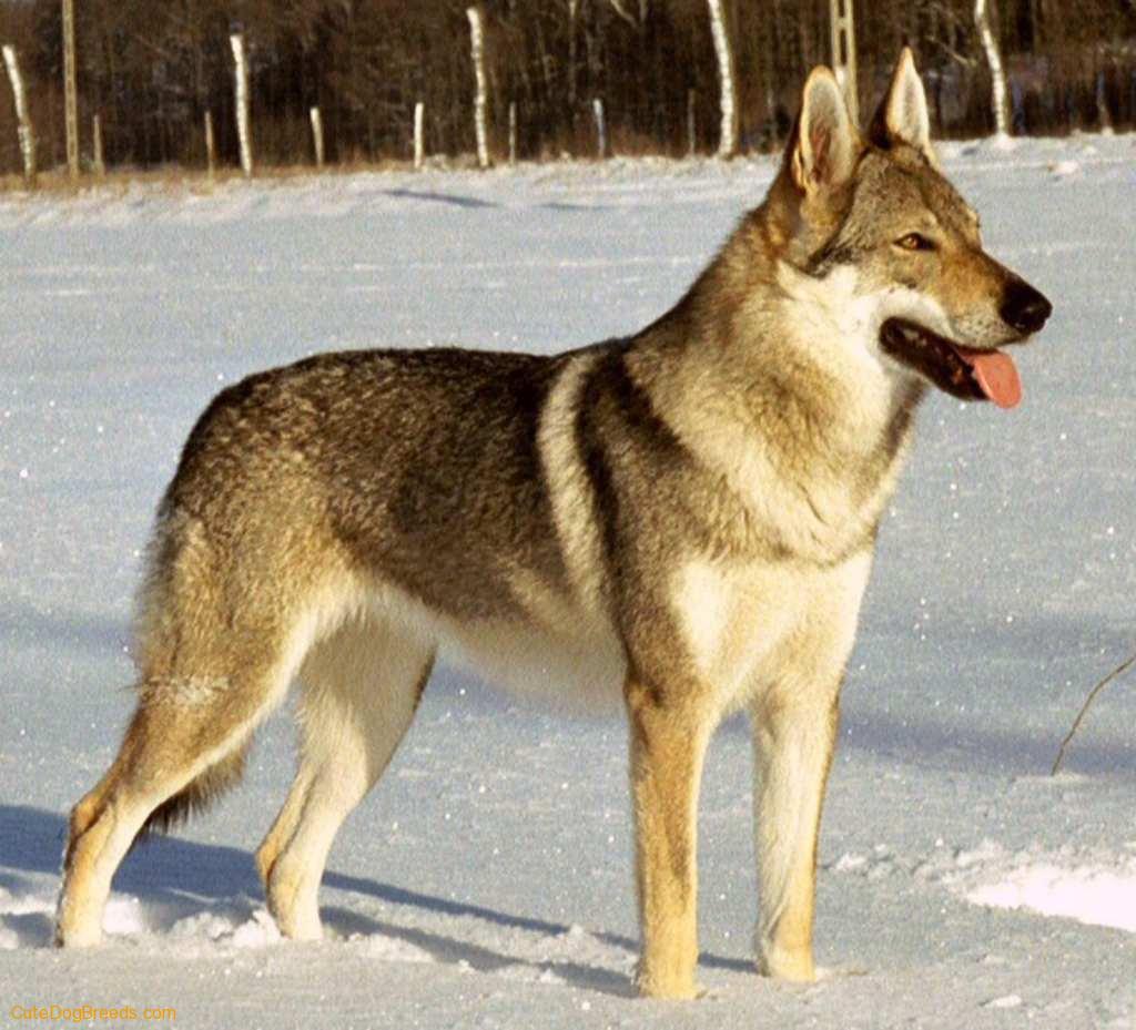Kunming Wolfdog Dog: Kunming Czechoslovakian Wolfdog Breed
