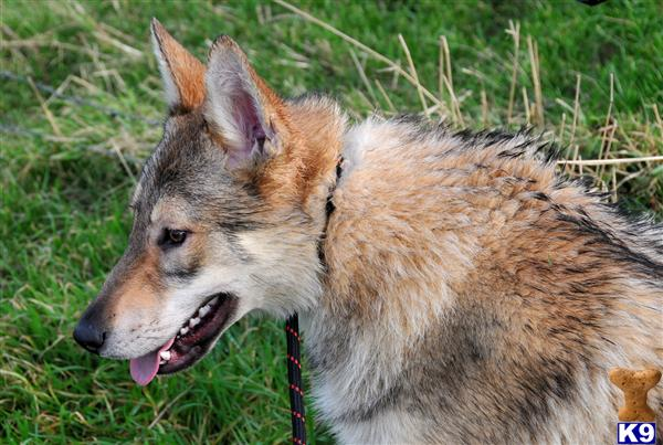 Kunming Wolfdog Puppies: Kunming Czechoslovakian Wolfdog Puppies For Sale Breed