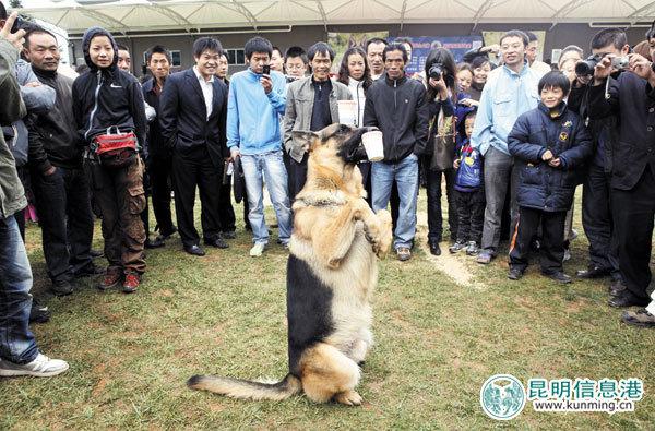 Kunming Wolfdog Dog: Kunming Fdcfeffb Breed