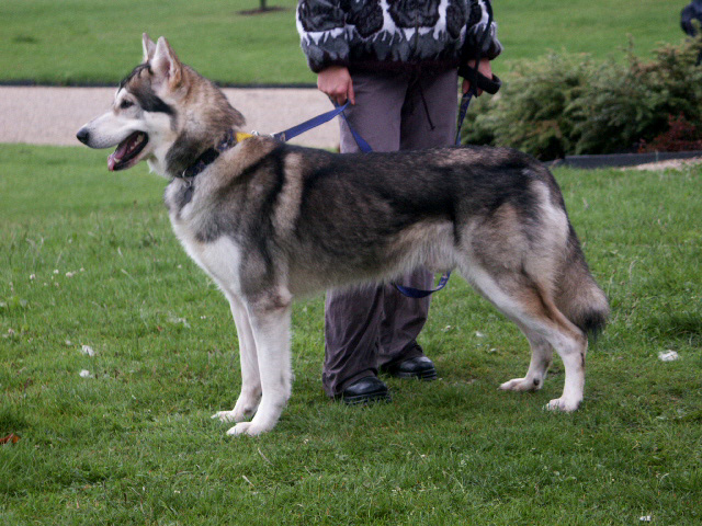 Kunming Wolfdog Puppies: Kunming Kunming Wolfdog With His Owner Breed