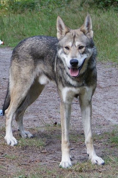 Kunming Wolfdog Dog: Kunming Lovely Kunming Wolfdog Breed