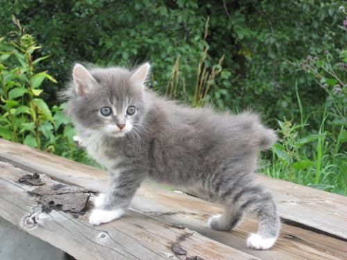 Kuril Islands Bobtail Kitten: Kuril Archive Breed