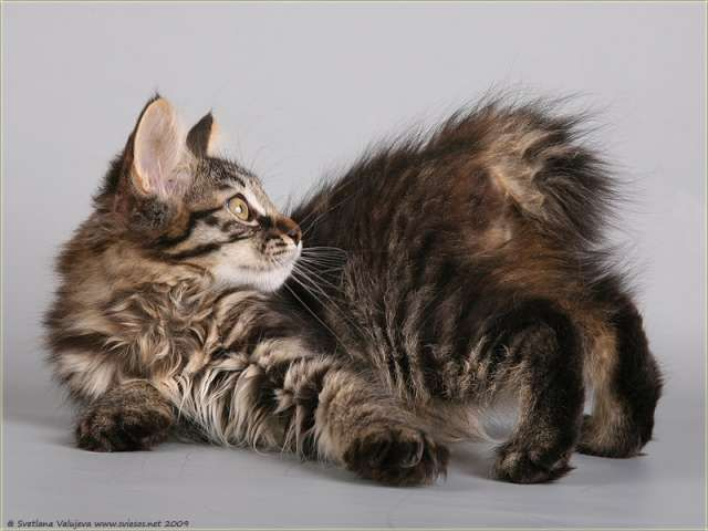 Kuril Islands Bobtail Kitten: Kuril Beautiful Kurilian Bobtail Cat Graphy Breed