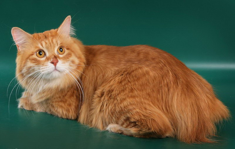 Kuril Islands Bobtail Kitten: Kuril Bobtail De Las Islas Kuriles Breed