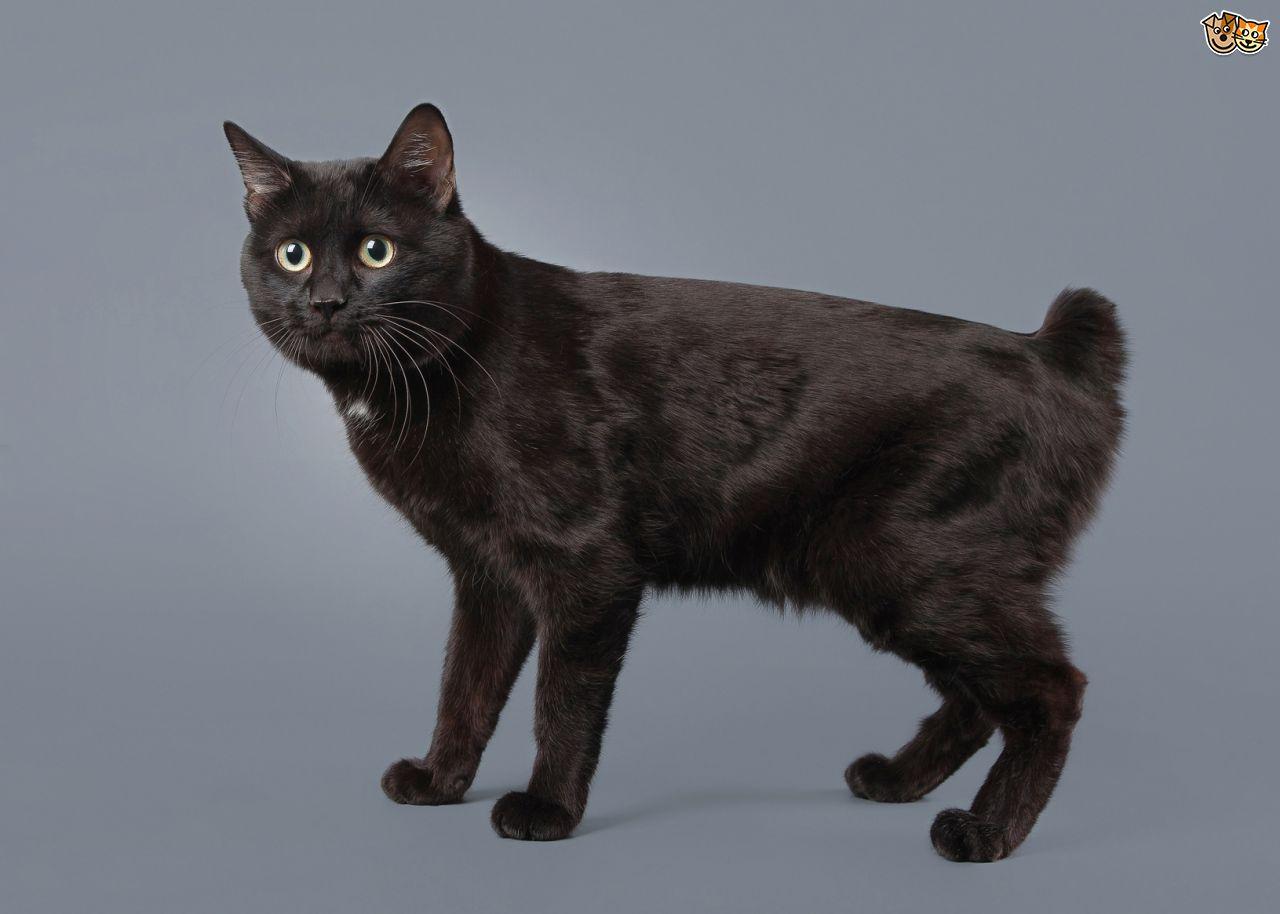 Kuril Islands Bobtail Cat: Kuril Home Breed