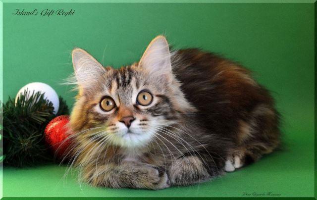 Kuril Islands Bobtail Cat: Kuril Kurbobreyki Breed