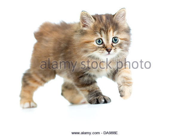 Kuril Islands Bobtail Kitten: Kuril Kuril Breed