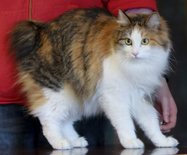 Kuril Islands Bobtail Kitten: Kuril Kurilian Bobtail Breed Profile