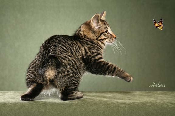 Kuril Islands Bobtail Kitten: Kuril Kurilian Bobtail Picture Breed