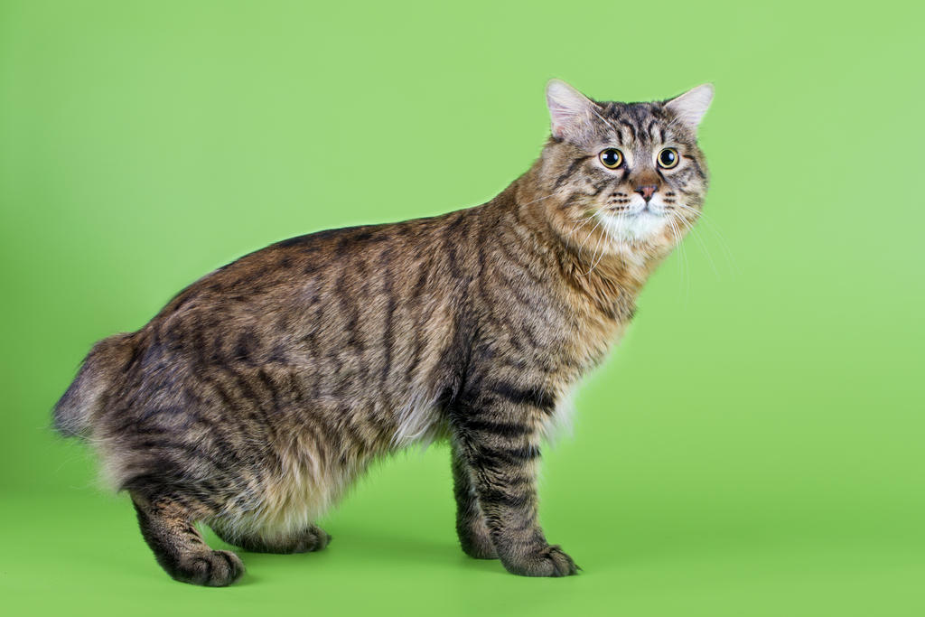 Kuril Islands Bobtail Kitten: Kuril Kurilianbobtail Breed