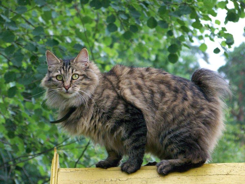 Kuril Islands Bobtail Cat: Kuril Of The Rarest Cat Breeds In The World
