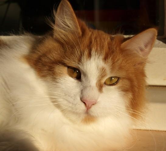 Kurilian Bobtail Cat: Kurilian Avyawxpywgymidgfpbcbjyxrz Breed