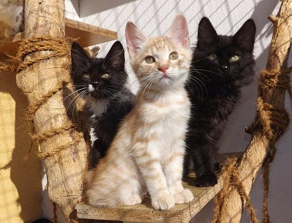 Kurilian Bobtail Kitten: Kurilian Bobtail Black Cat Kittens Mammal Black And White Cat Black Silver Cat Kitten Animal Black And White Breed