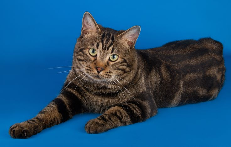 Kurilian Bobtail Cat: Kurilian Bobtailcats Breed