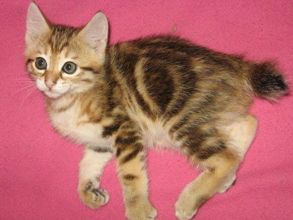 Kurilian Bobtail Kitten: Kurilian Breed