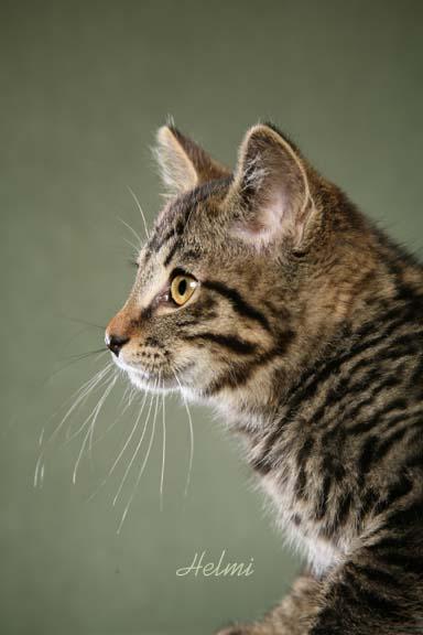 Kurilian Bobtail Cat: Kurilian Cute Cat Breeds Chinese Bobtail Cat