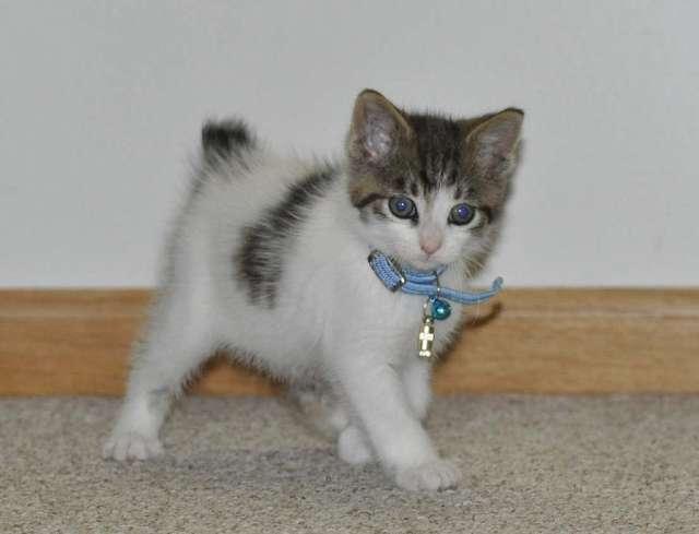Kurilian Bobtail Kitten: Kurilian Kurilian Bobtail Breed