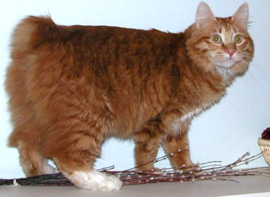 Kurilian Bobtail Kitten: Kurilian Kurilian Bobtail Cat Breed Pictures
