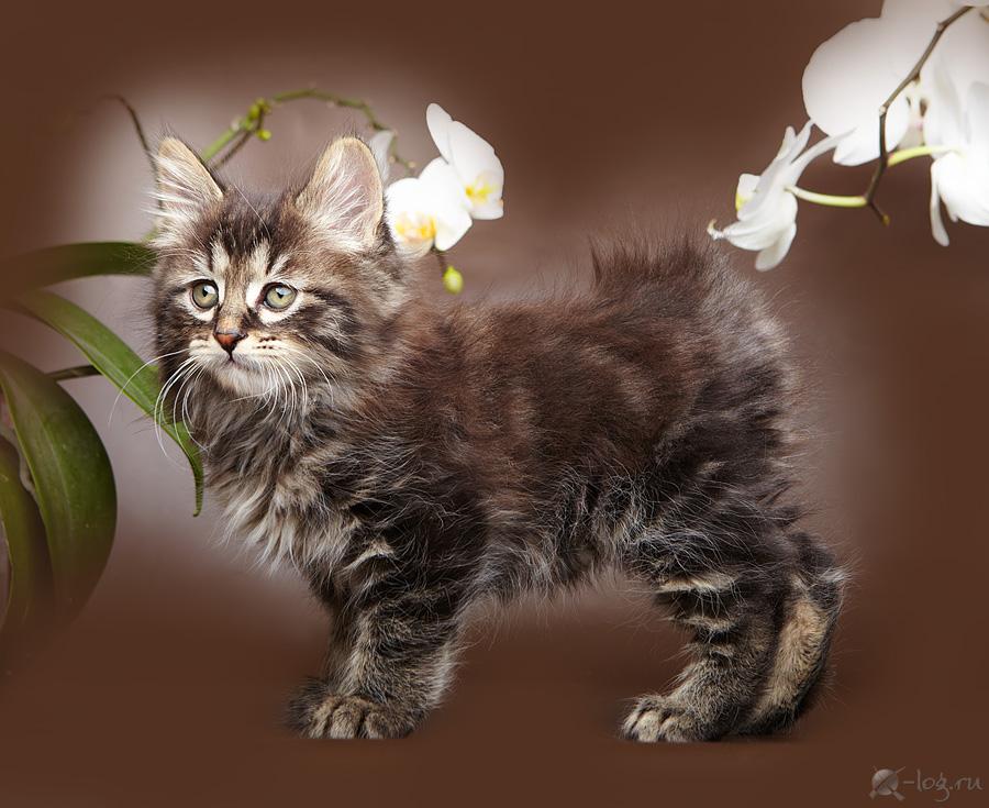 Kurilian Bobtail Kitten: Kurilian Kurilian Bobtail Cat Breed