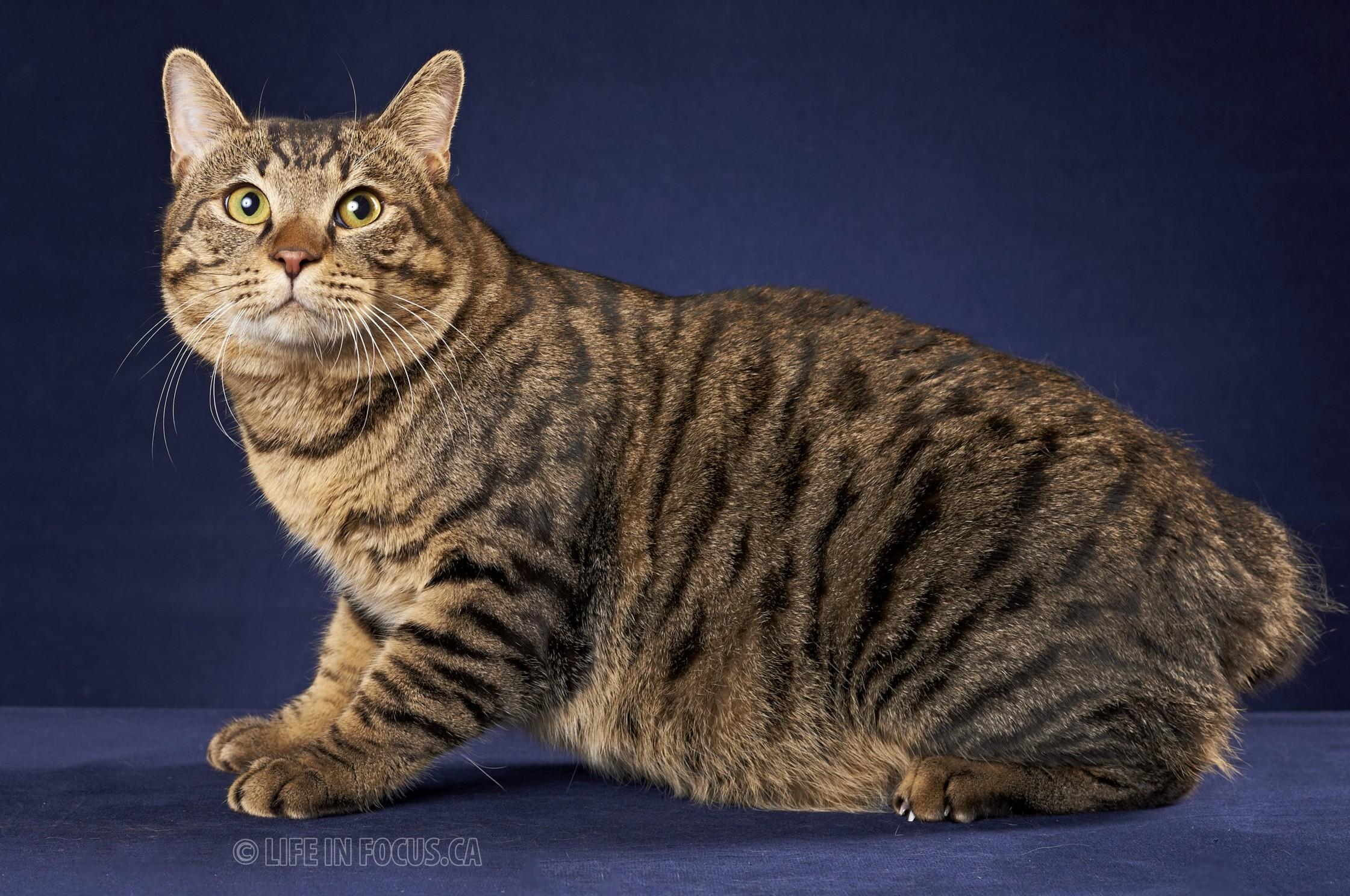 Kurilian Bobtail Cat: Kurilian Luka Breed
