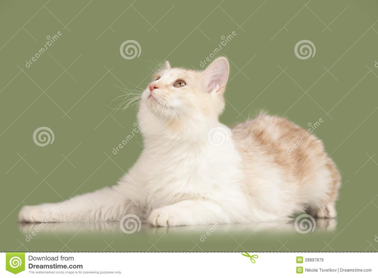 Kurilian Bobtail Kitten: Kurilian Royalty Free Stock S Kurilian Bobtail Kitten Breed