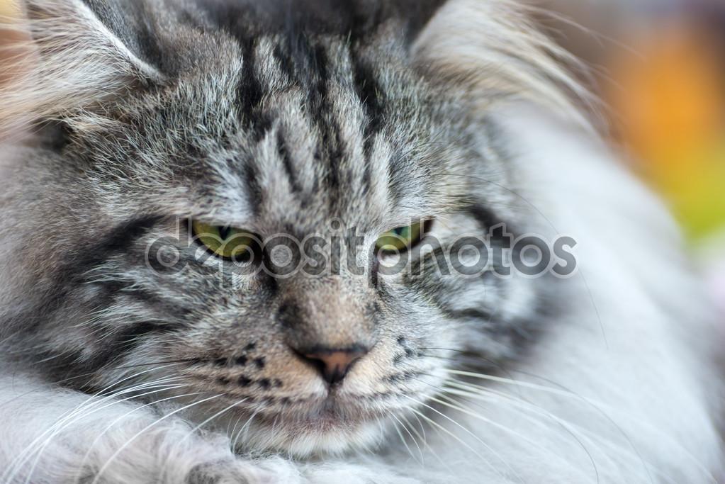 Kurilian Bobtail Cat: Kurilian Stock Kurilian Bobtail Cat Breed