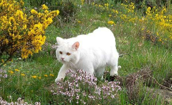 Kurilian Bobtail Kitten: Kurilian Stunning Long Haired Rare Kurilian Bobtail Kittens Tewkesbury Breed