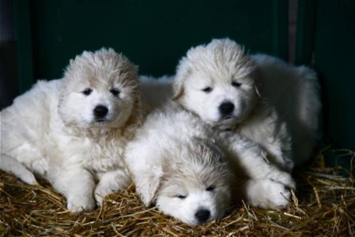 Kuvasz Puppies: Kuvasz Breed