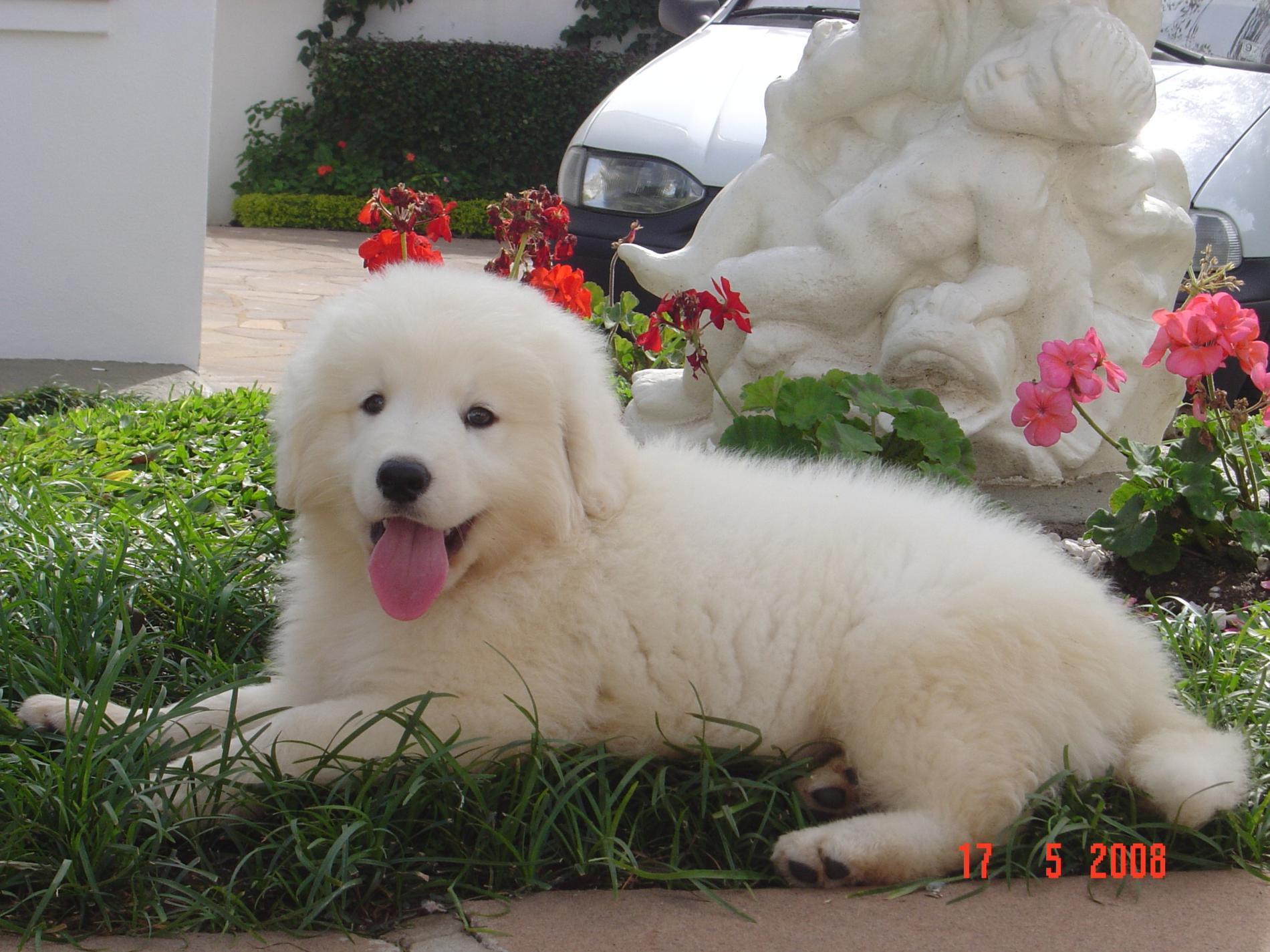Kuvasz Puppies: Kuvasz Information About Brave And Intrepid Kuvasz Puppy Breed