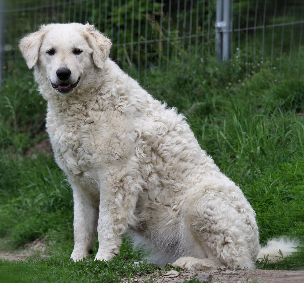 Kuvasz Dog: Kuvasz Kuvasz Breed
