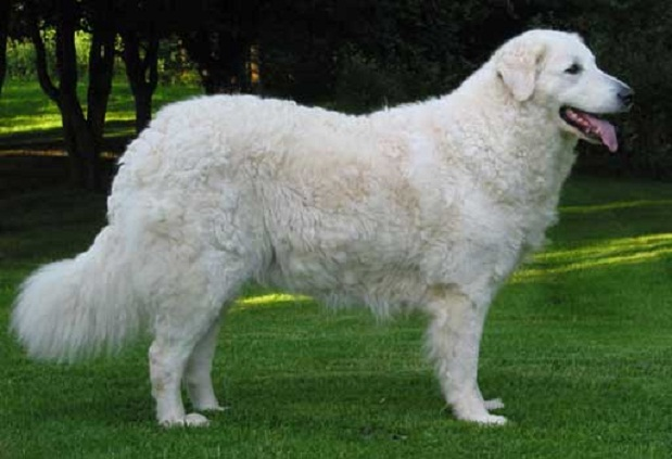 Kuvasz Dog: Kuvasz Kuvasz Picture Breed