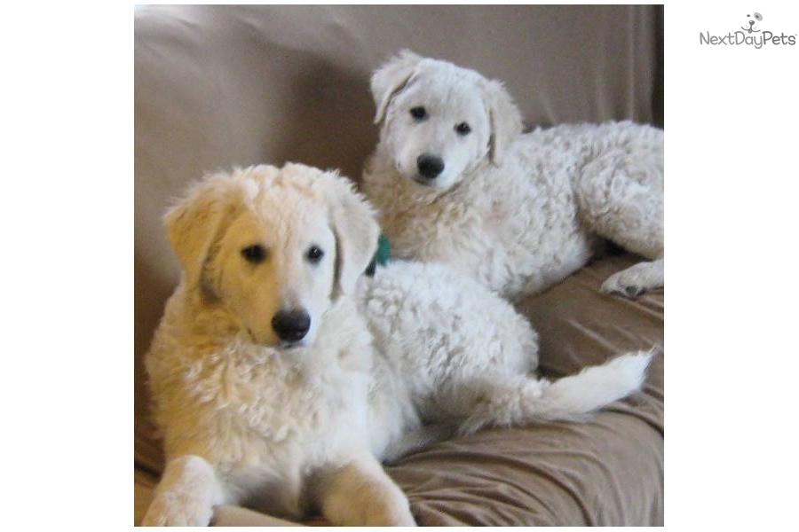 Kuvasz Puppies Puppy Dog Gallery