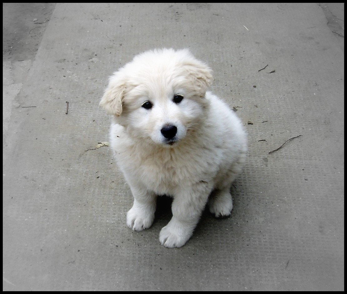 Kuvasz Dog: Kuvasz Kuvasz Puppy Breed