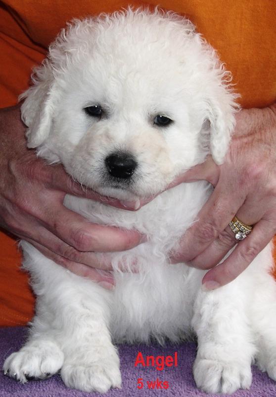 Kuvasz Puppies: Kuvasz Kuvaszpuppies Breed