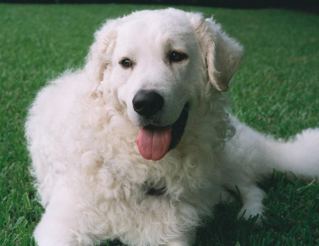 Kuvasz Puppies: Kuvasz Male Puppy Names Breed