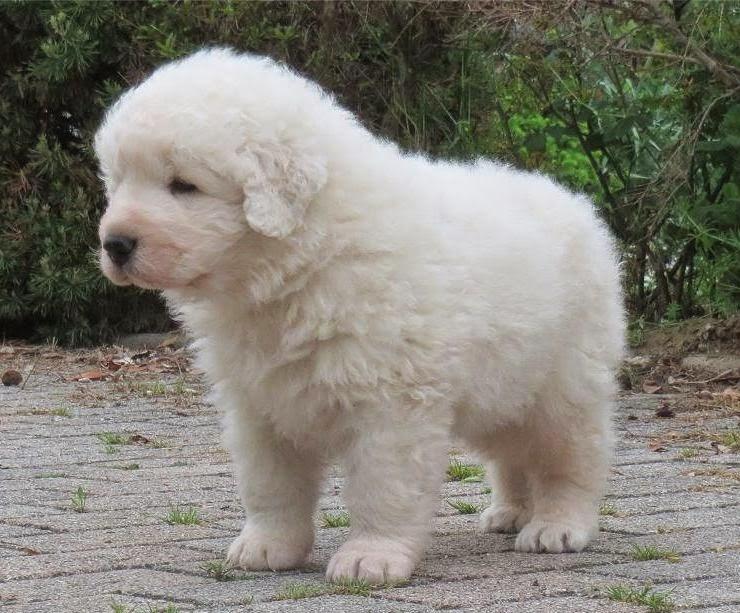 Kuvasz Puppies: Kuvasz Puppies Breed