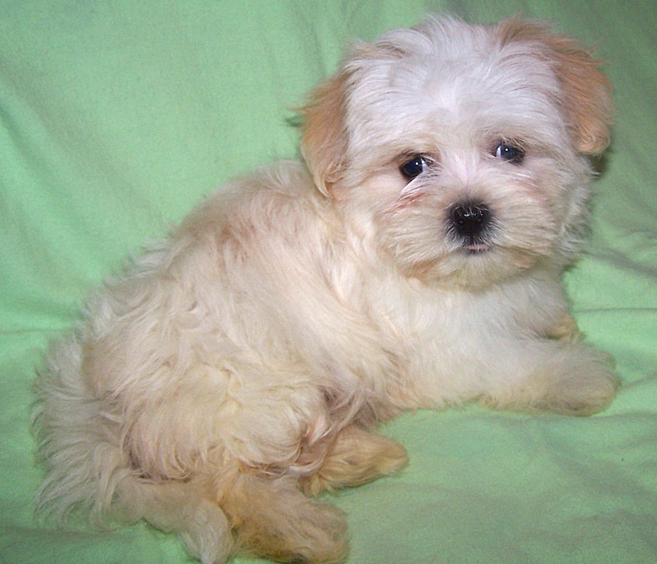 Kyi-Leo Dog: Kyi Leo Adopt A Kyi Leo Find Dogs For Adoption Breed