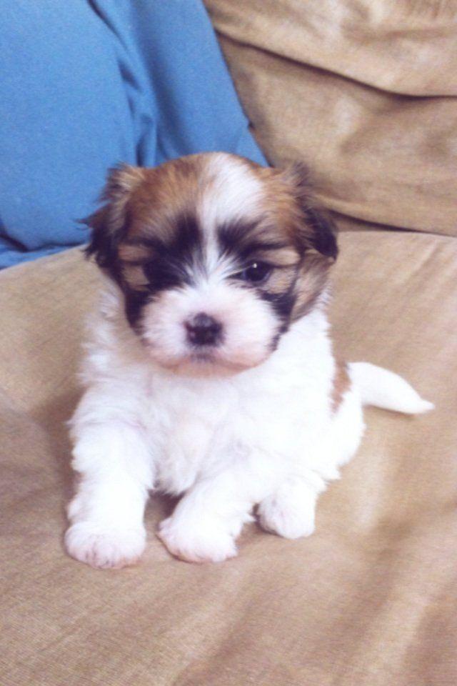 Kyi-Leo Puppies: Kyi Leo F Kyi Leo Puppies York Breed