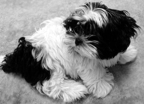 Kyi-Leo Dog: Kyi Leo Kyi Leo Dog Breed