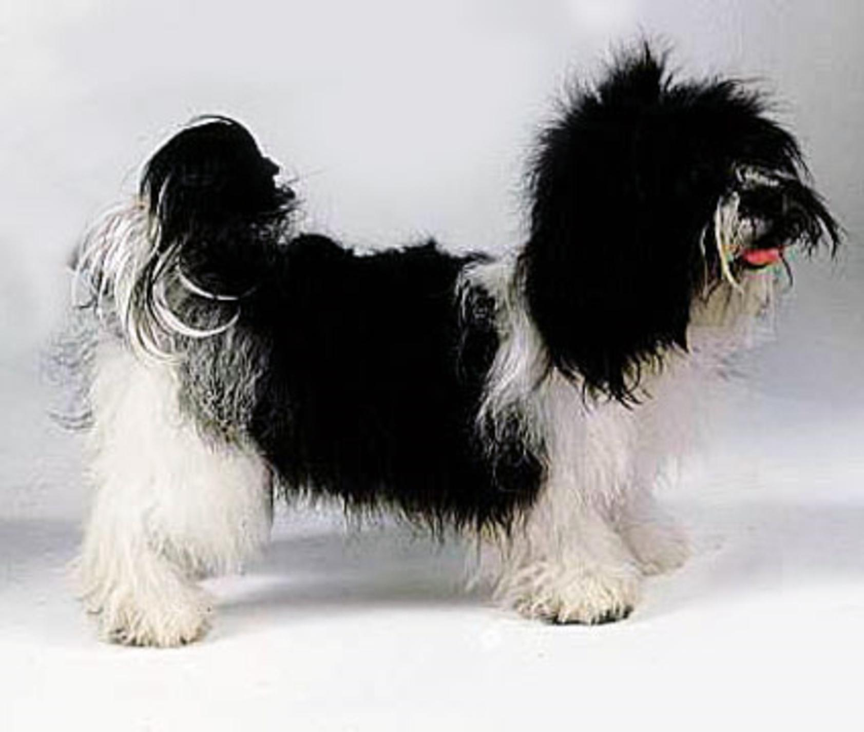 Kyi-Leo Dog: Kyi Leo Kyi Leo Dogs Breed