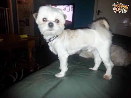 Kyi-Leo Dog: Kyi Leo Kyi Leo Lhasaxmaltese Wakefield Breed
