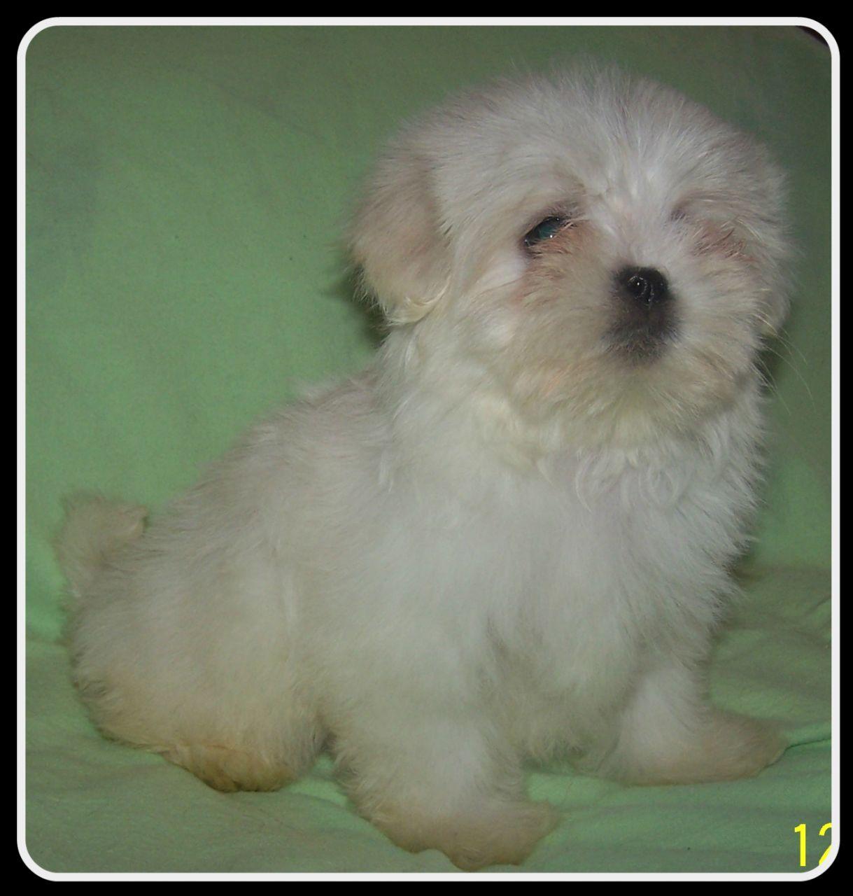 Kyi-Leo Dog: Kyi Leo Kyi Leo Maltese X Lhasa Apso Wakefield Breed