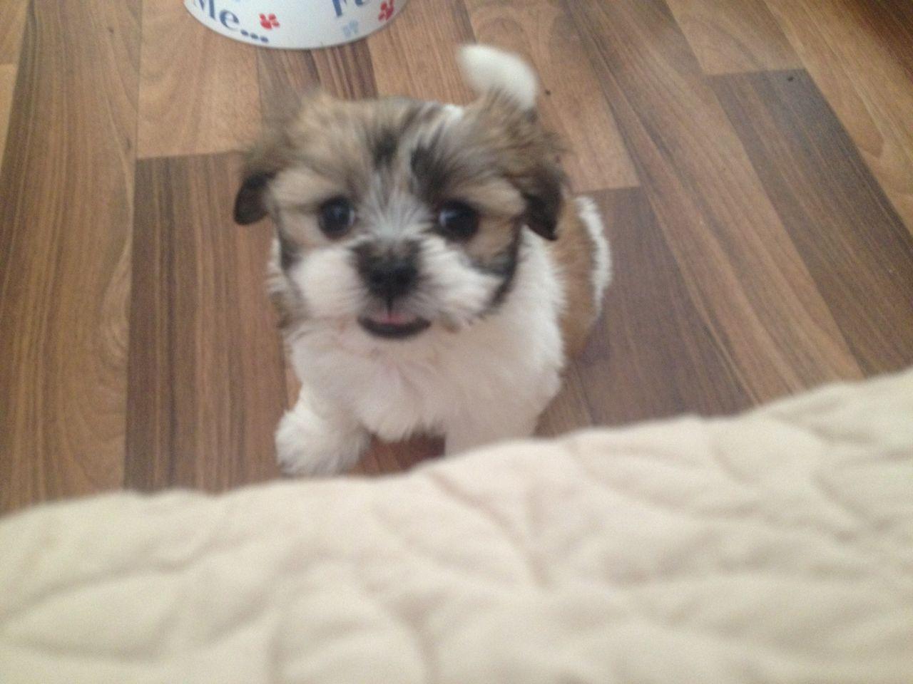 Kyi-Leo Puppies: Kyi Leo Lhasa Apso X Maltese Terrier Kyi Leo Puppies Rotherham Breed